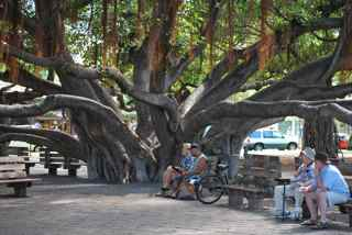 Gift of India, this magnificent banyan tree now occupies an entire block along the Lahaina wharf