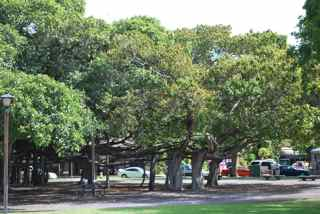 Outer edge of Lahaina's famous banyan tree