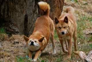 Small pack of dingos thriving at Cleland Wildlife Park