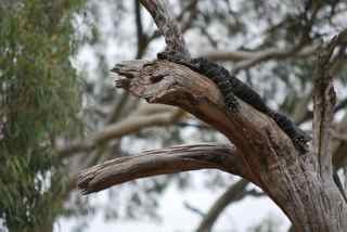 Monitor lizard dozing on a tree