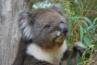 Osmo eating eucalyptus while we run our fingers through his fur