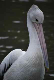 Pelican in Cleland's bird sanctuary