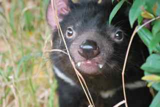 Tasmanian Devil female