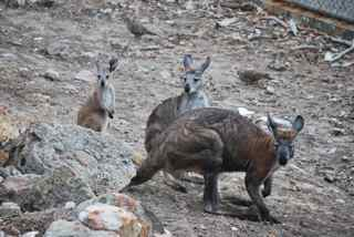 Shy yellow-footed rock wallabies eye us warily