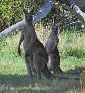 Kangaroos by Valley Lake in Mt. Gambier watching me edge toward them